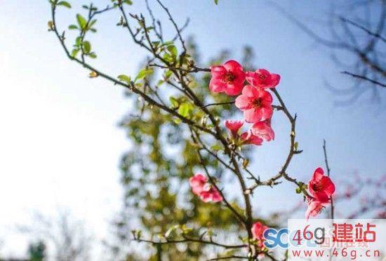 春入双流 万株海棠吐芬芳等你来赏